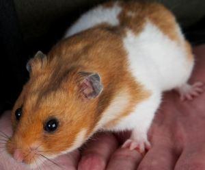 TI hamster